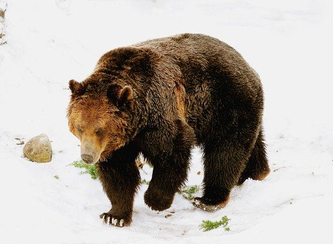 grizzly in snow