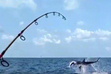 Shark Tries to Steal Fisherman's Sailfish