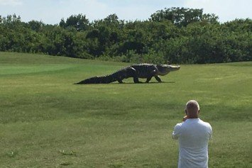 Giant Alligator a Mascot on Florida Golf Course for Years