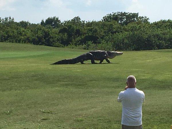 gator-golf