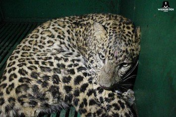 Leopard Storms Home in India Chased by Angry Mob