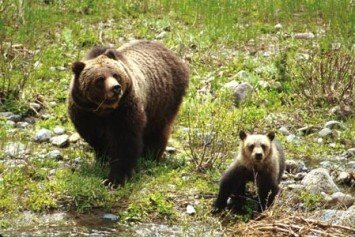 Famous Bear Cub Killed in Hit and Run at Grand Teton