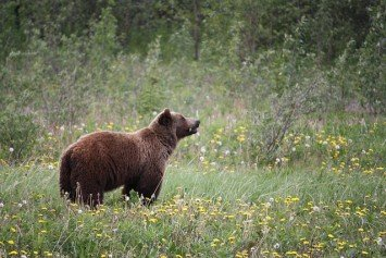 Grizzly Bear That Killed 40 Sheep Put Down