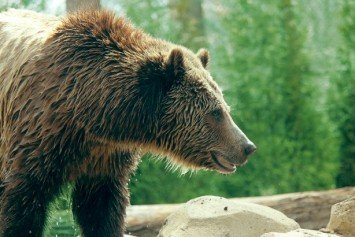 Mountain Biker Killed by Grizzly in Flathead National Forest