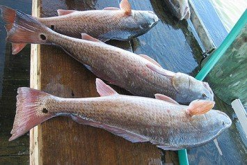 4 Things to Look For Stalking Redfish on the Flats