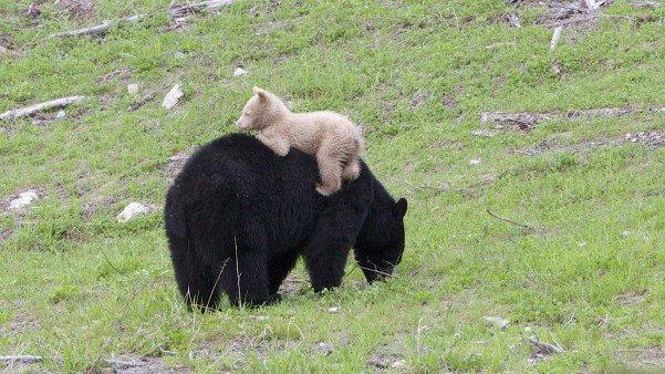albino-bear