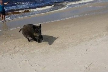 Wild Boar Storms Polish Beach Like a Boss