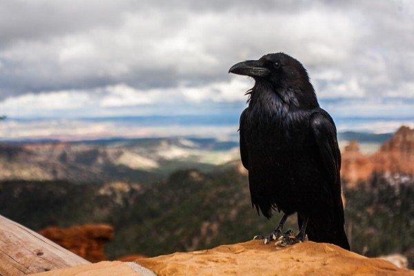 crow-pixabay