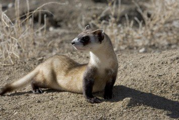 Biologists to Use Drones to Vaccinate Ferrets in Montana