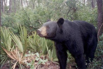 Florida Black Bear Encounter Prompts Wildlife Warning