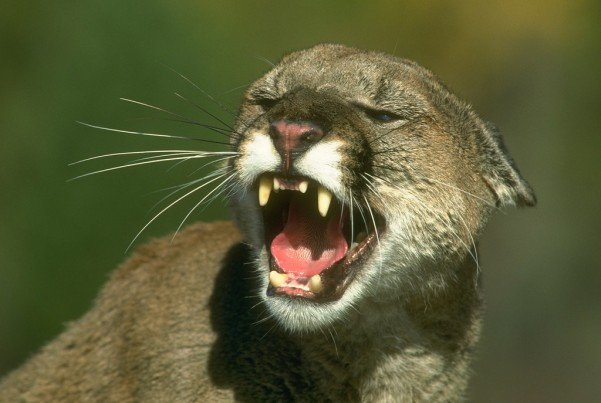 mountain lion growl