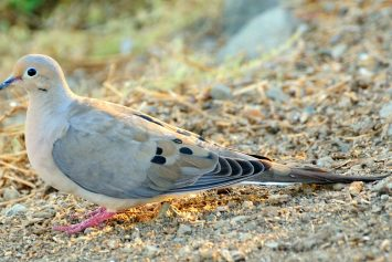 4 Strategies for a Better Dove Hunt