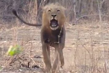 Watch a Lion Charge Tourists in South Africa