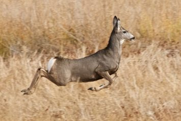 6 Tips for Hunting High Elevation Mule Deer