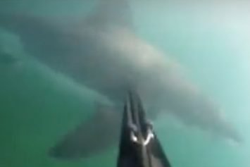 Great White Shark Attack on Spear Fisherman Caught on Camera