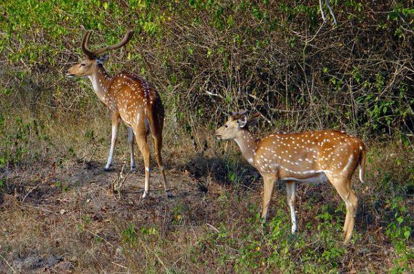 spotted-deer-597402_640