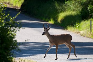 Is Your State More Prone to Deer Collisions?