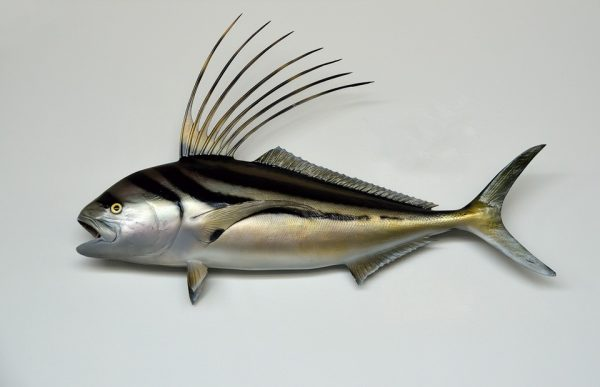 rooster-fish-1620131_960_720