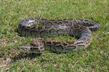 How Snake Trackers From India Handle Florida Pythons