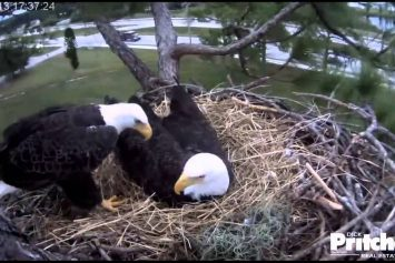 Watch Live Bald Eagles Hatch in Florida