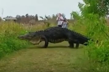 Giant Gator Emerges from Weeds in Florida