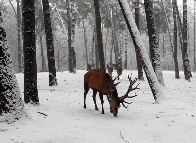 red-deer-262251_640