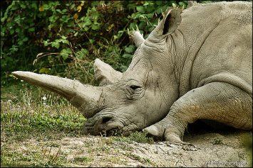 What the White Rhino Extinction Means for Hunters