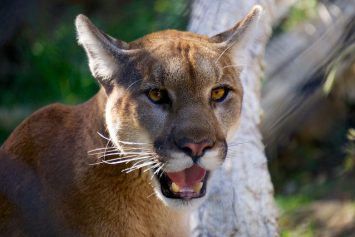 8 Tips to Avoid a Mountain Lion Attack